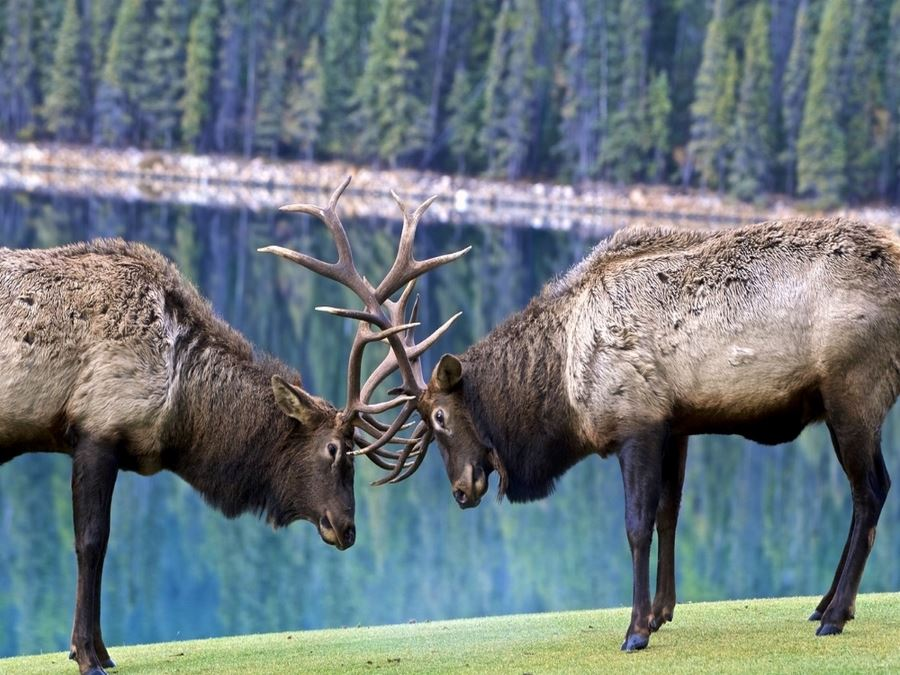 Bull elk during the rut season