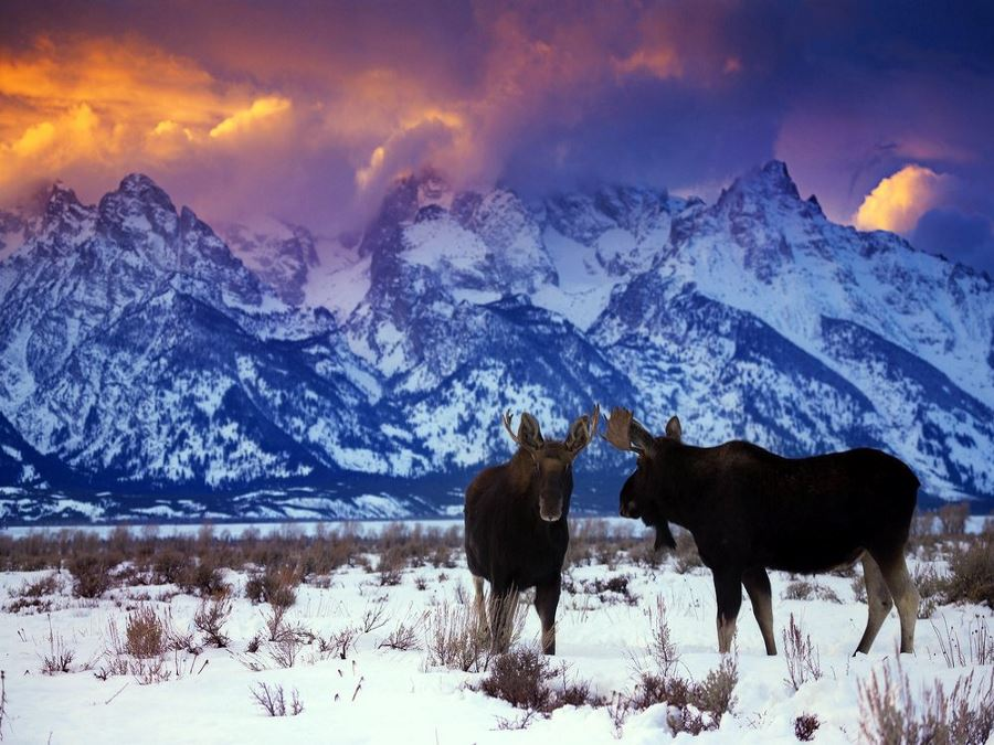 Two bull moose stand under the Tetons during a winter sunset