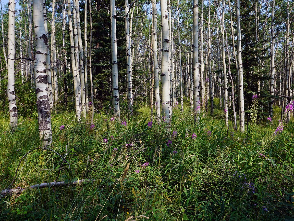 Birch forest on the Mt. Yamnuska Circuit Hike in Canmore, Alberta