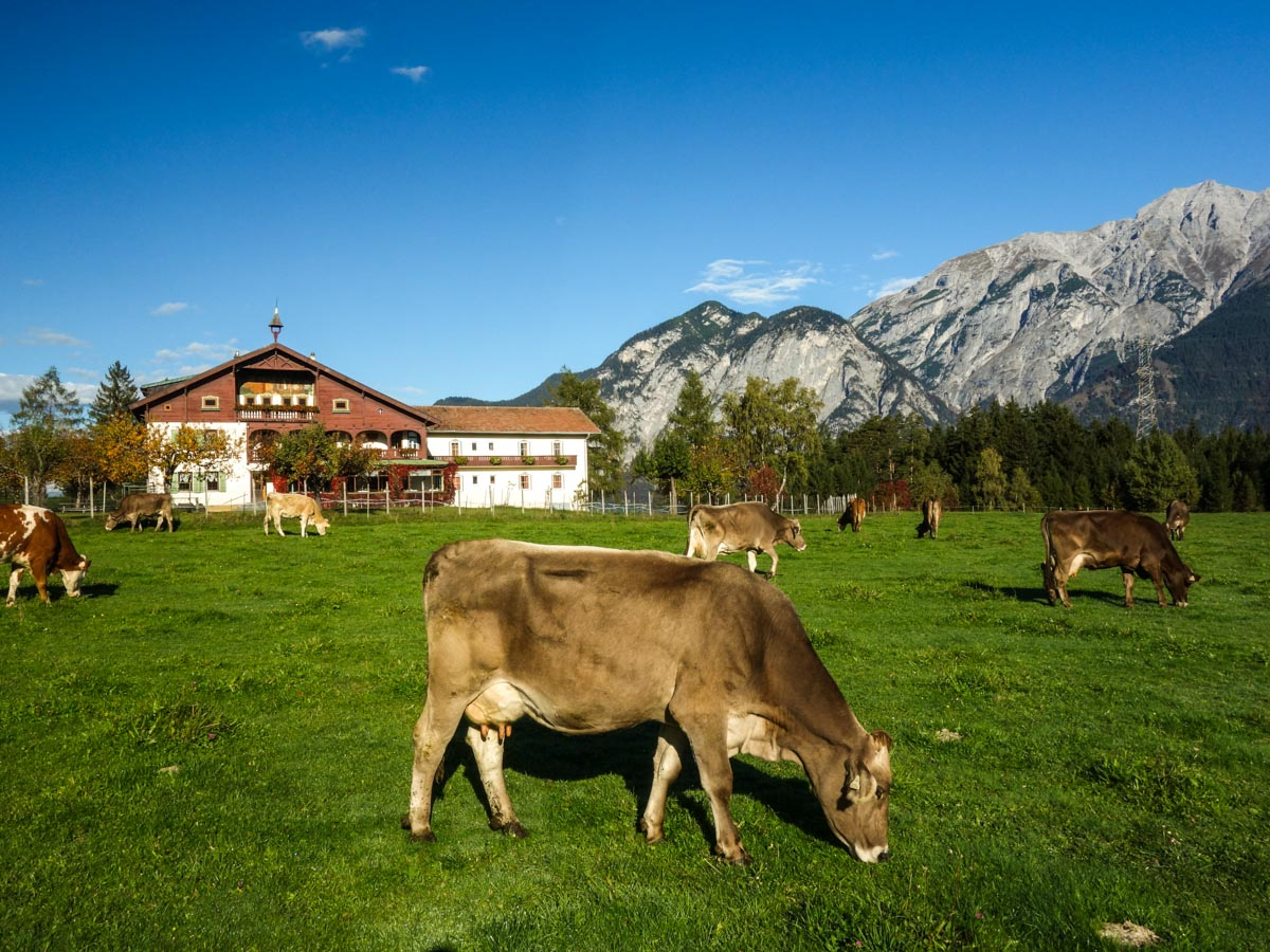 Cows at Eichhof on the Natterer See Hike from Innsbruck, Austria