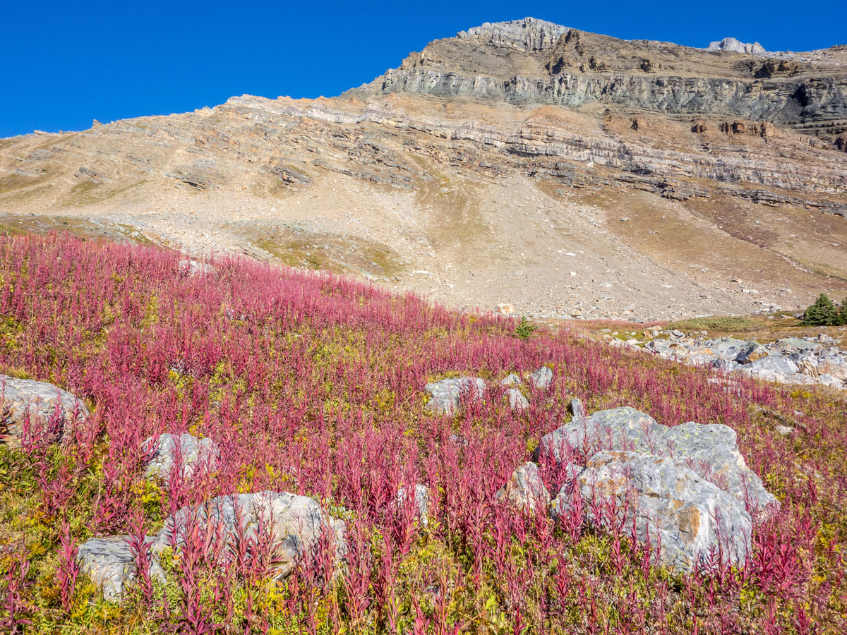 Beautiful fireweed on the Hidden Lake Hike from Lake Louise in Banff National Park
