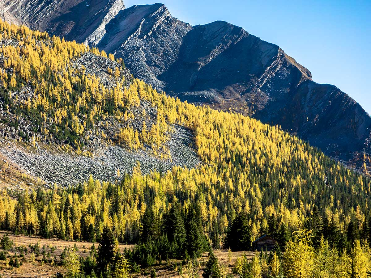 A ridge of larches above the Halfway Hut on the Skoki Lakes Hike from Lake Louise in Banff National Park