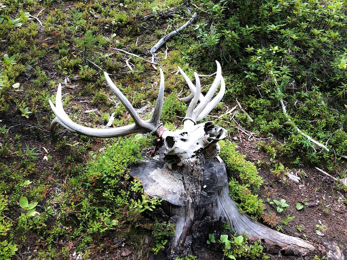 A skull and rack on the Lake Louise Ski Hill Hike from Lake Louise in Banff National Park