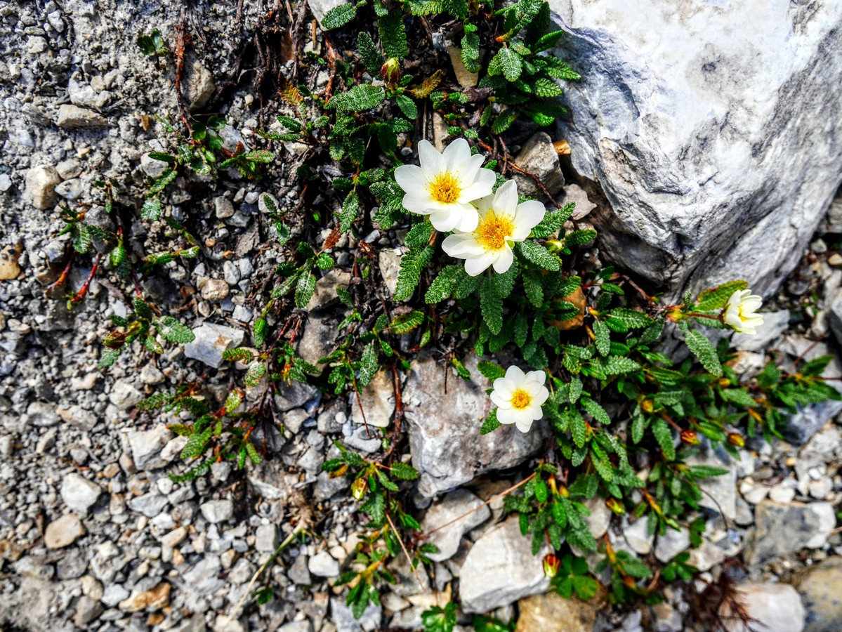 White mountain avens on the Emerald Basin Hike in Yoho National Park, Canada
