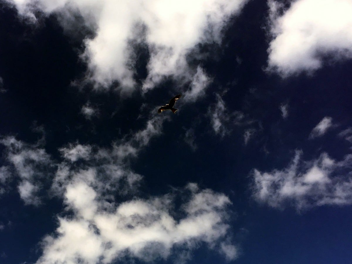 Red Kite flying above Pudding Hill on the Hurley Loop Hike in Chiltern Hills, England