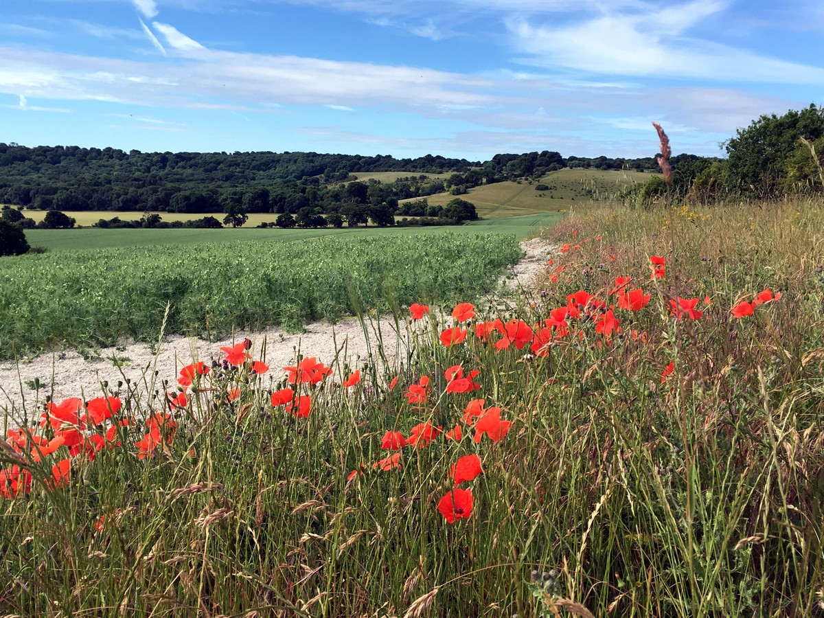 Crops and poppies on the Ashridge Boundary Trail Hike in Chiltern Hills, England