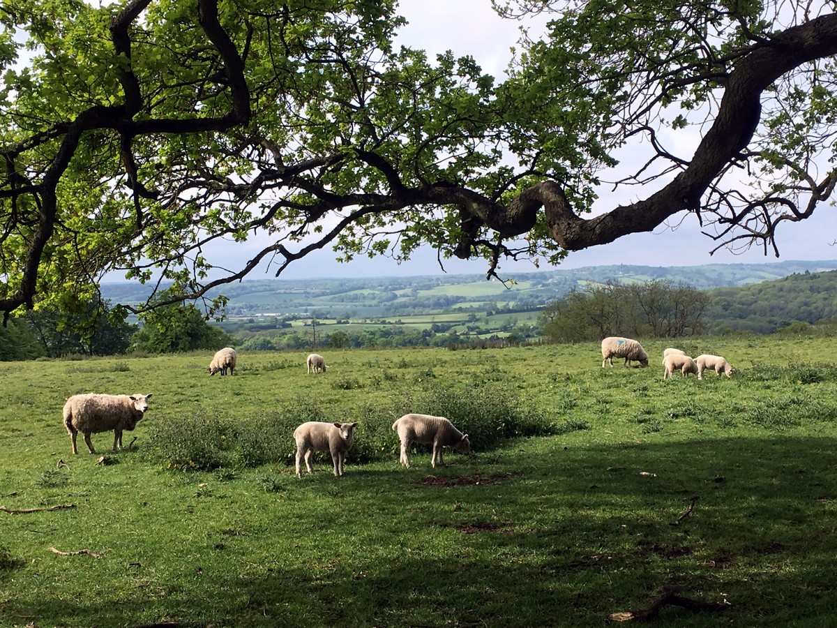 Sheep grazing on the Ashridge Boundary Trail Hike in Chiltern Hills, England