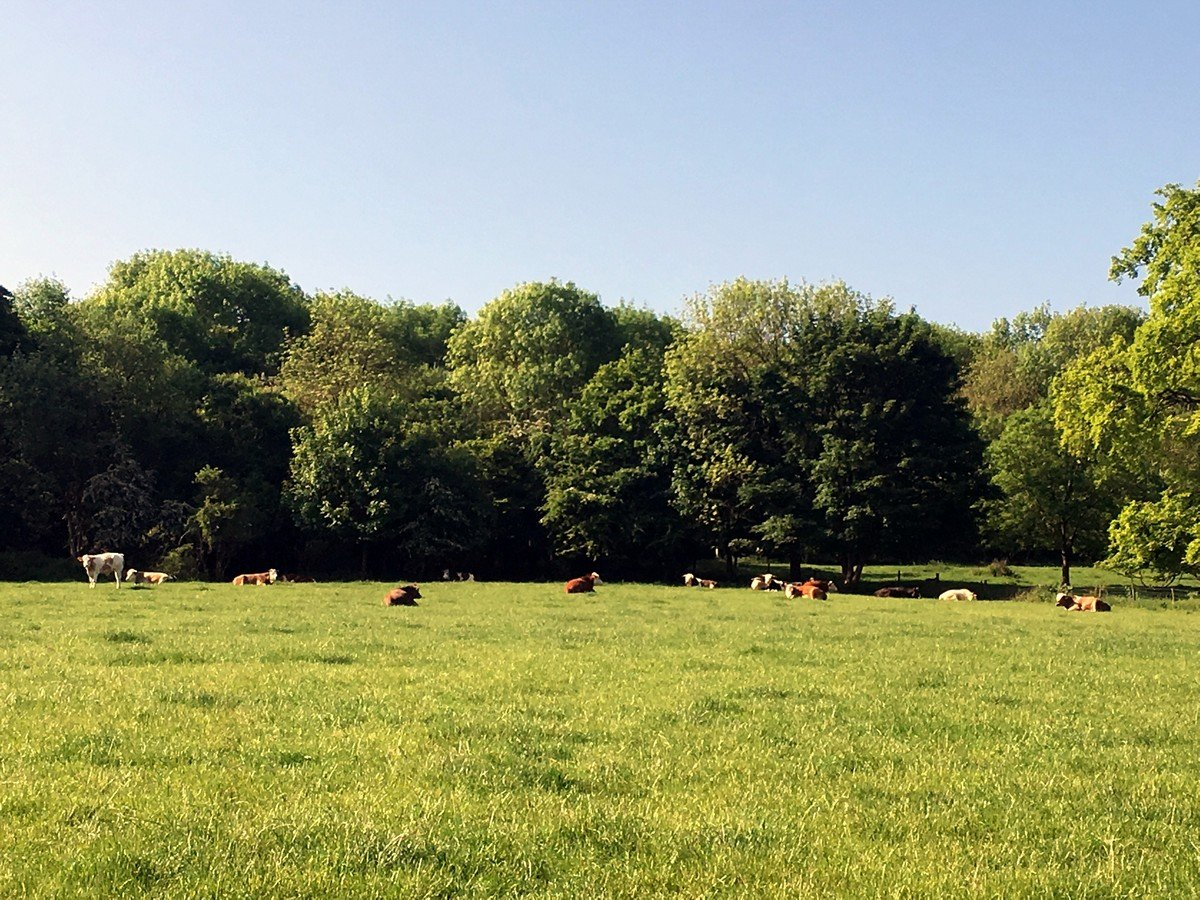 Cows in a field on the Brush Hill & White Leaf Nature Reserve Hike in Chiltern Hills, England