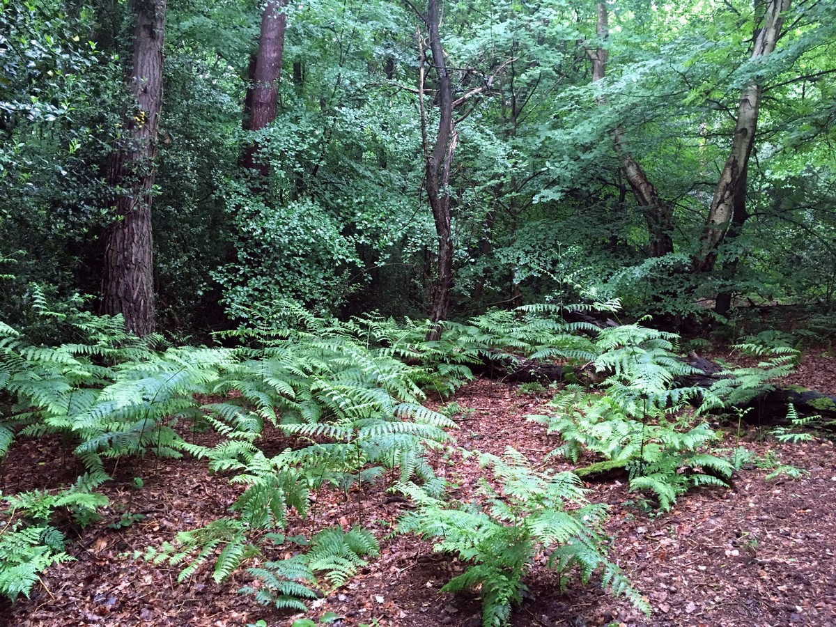 Trail through the ferns on the Burnham Beeches Loop Trail Hike in Chiltern Hills, England