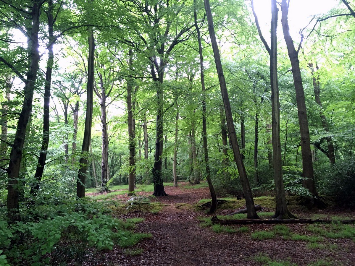 Trail through the beech trees on the Burnham Beeches Loop Trail Hike in Chiltern Hills, England