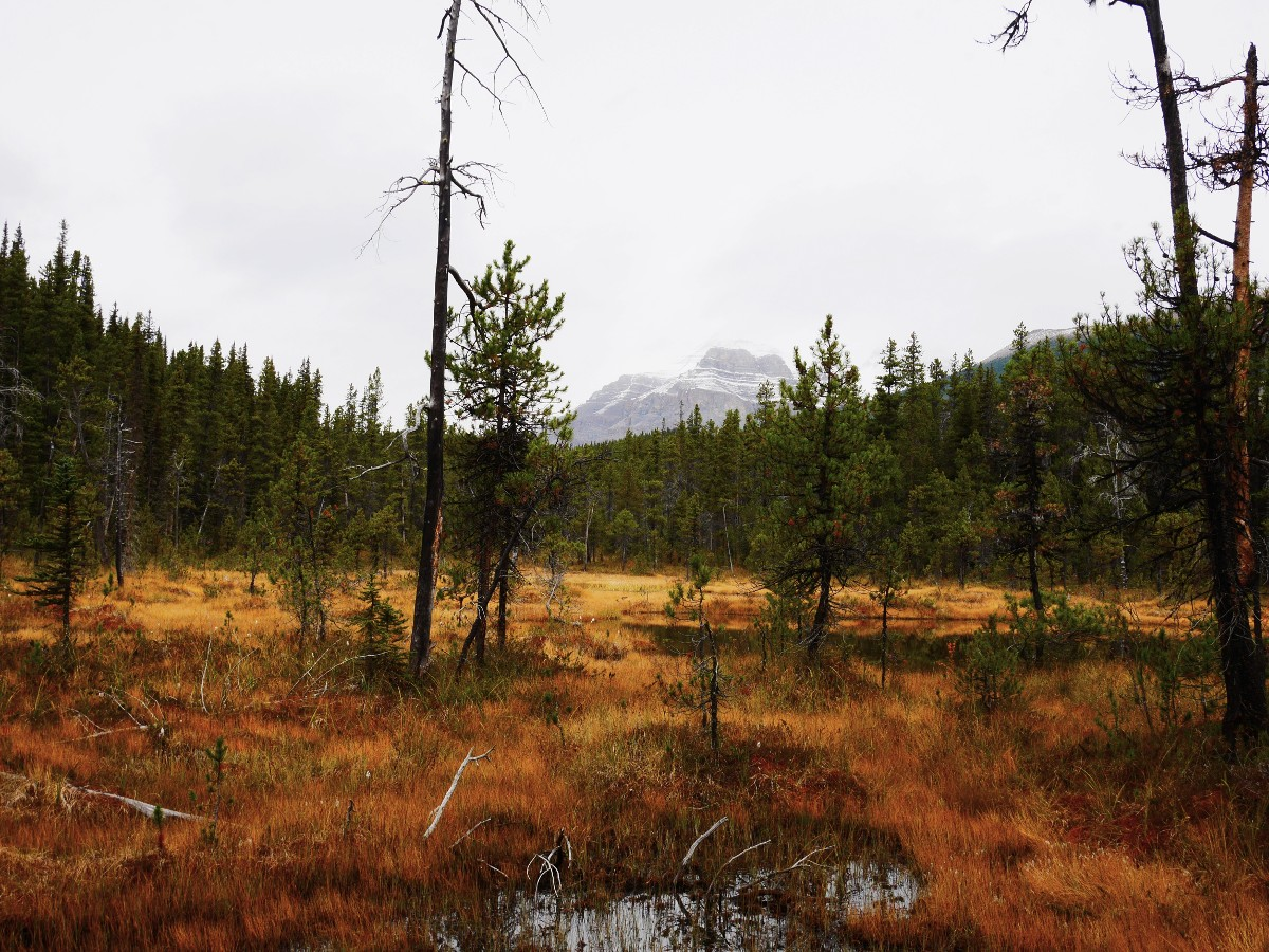 Meadow on the trail with Mt Wilson in the background on the Cirque & Chephren Lakes Hike from the Icefields Parkway near Banff National Park