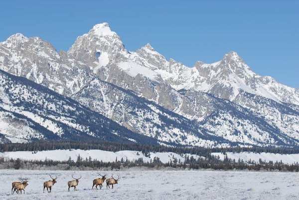 Elk in front of Teton Range