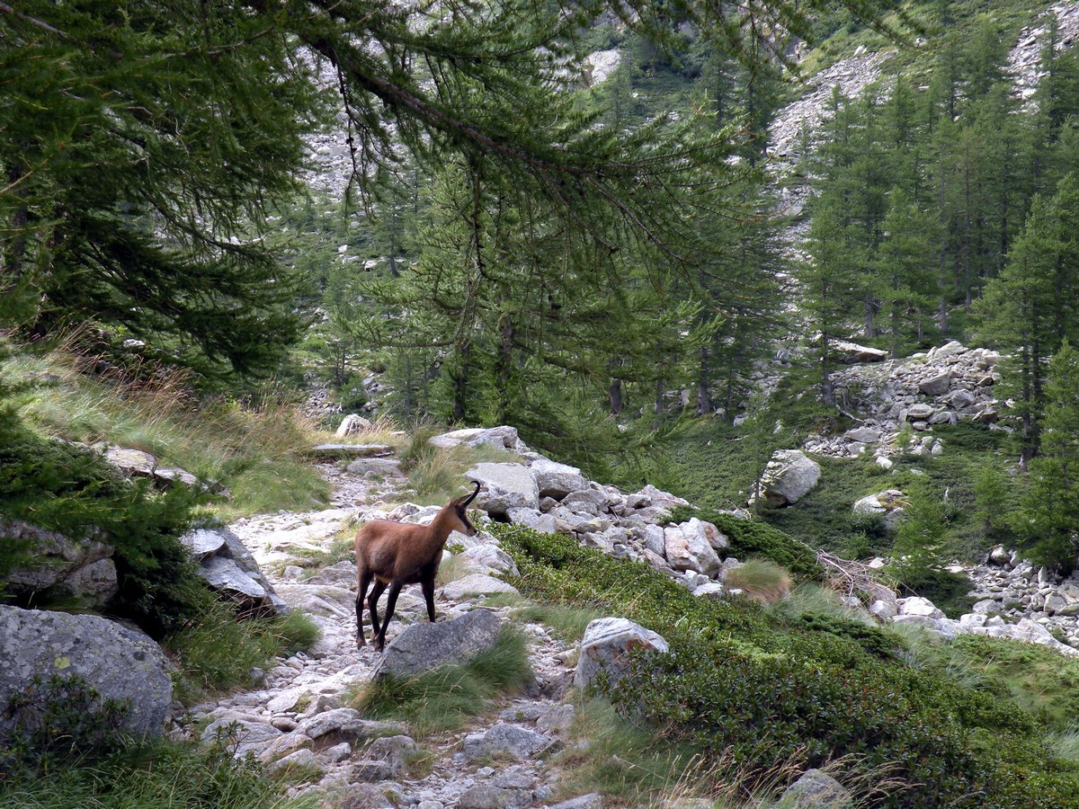 Chamois on a trail in Alpi Marittime National Park, Italy