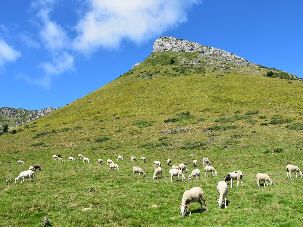 Sheep on the Cagire Loop Hike in French Pyrenees