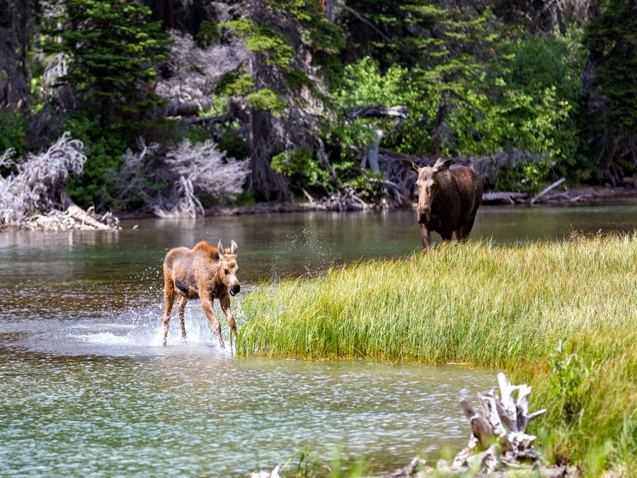 Moose Family enjoying spring in Glacier National park