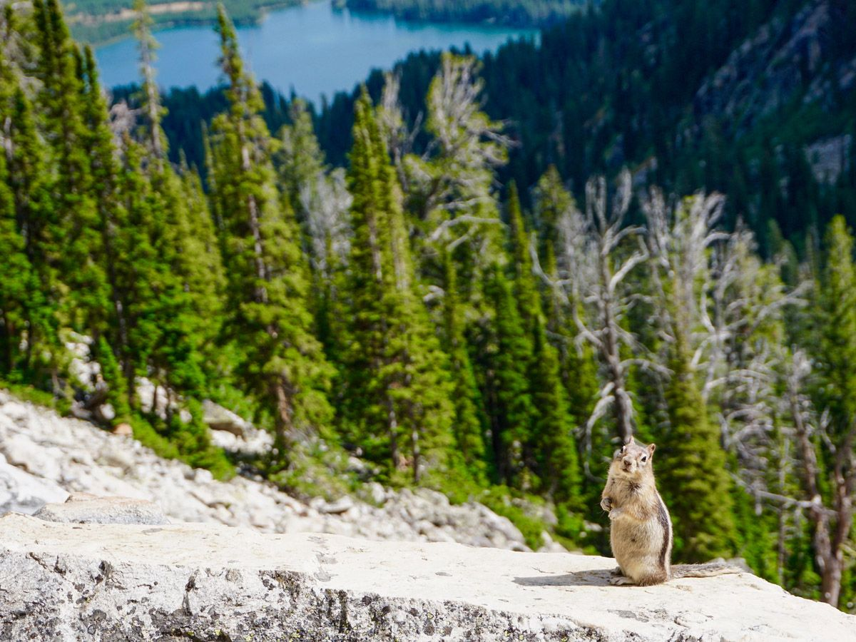 Squirrel at Garnet Canyon Hike in Grand Teton National Park