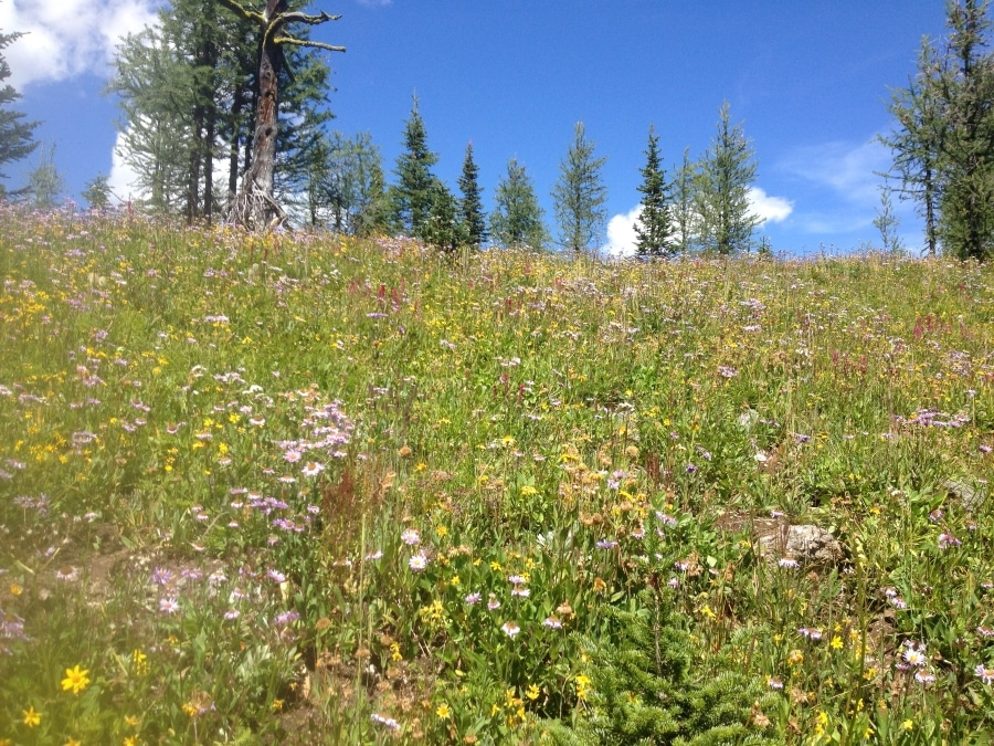 Healy Meadows wildflowers