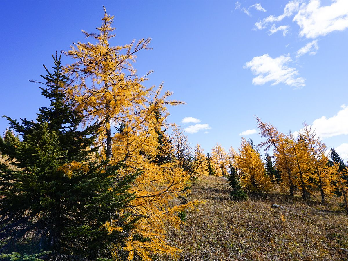 Trees at Healy Pass Hike in Banff National Park