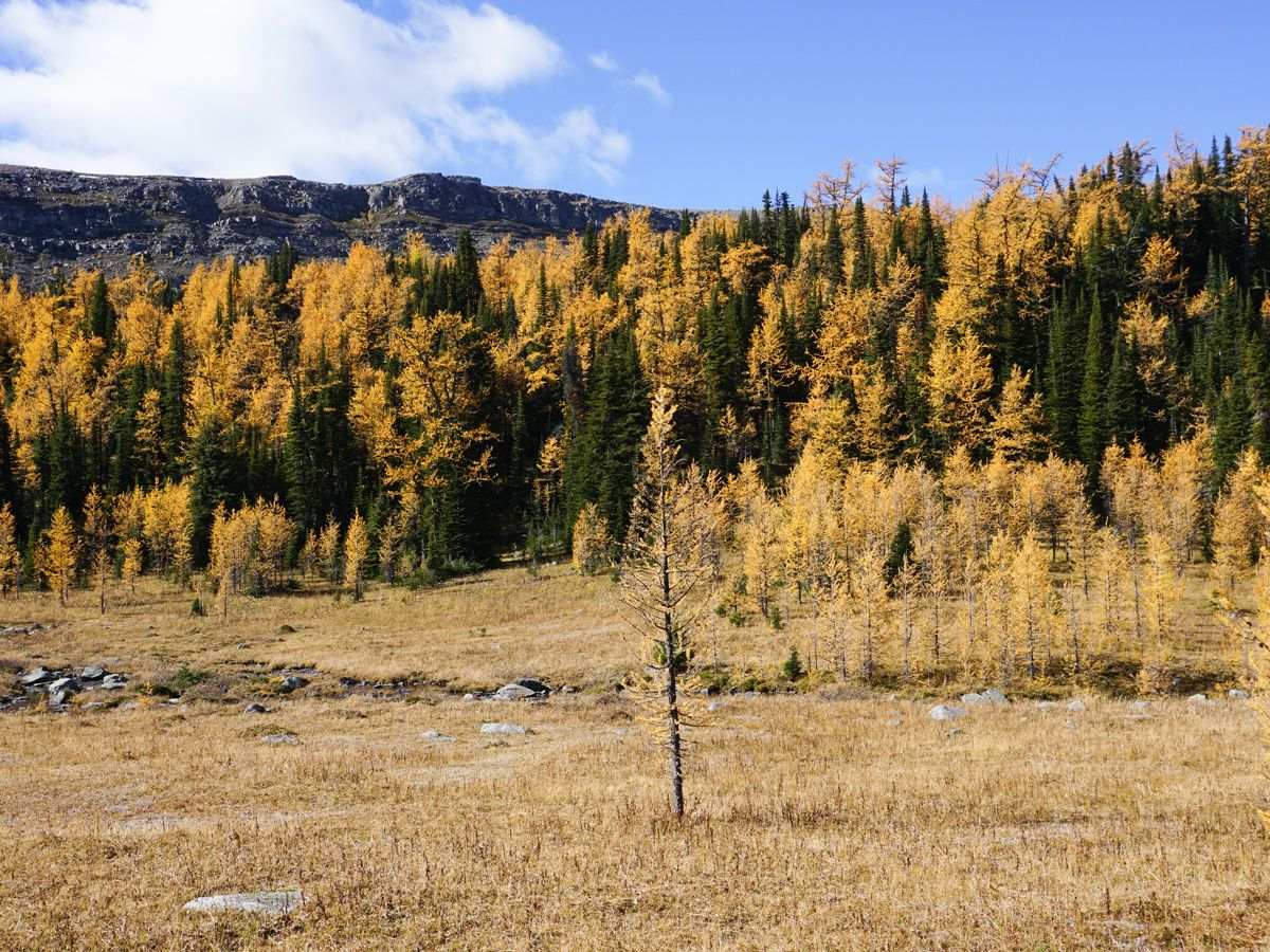 Trees at Healy Pass Hike in Banff National Park, Alberta