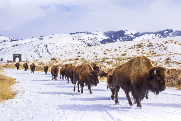 Herd of Bison passing through Roosevelt Arch