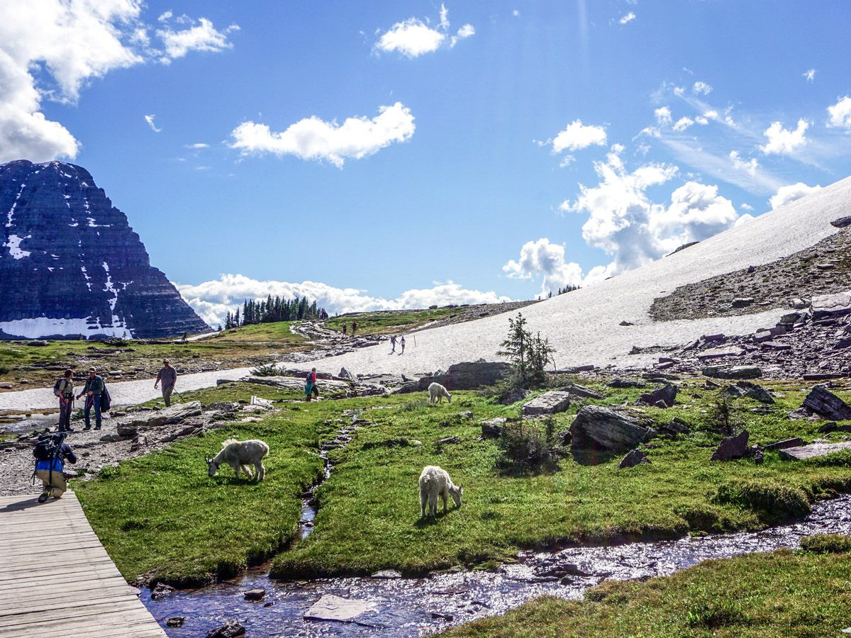 People hiking with animals around at Hidden Lake Overlook Hike in Glacier National Park