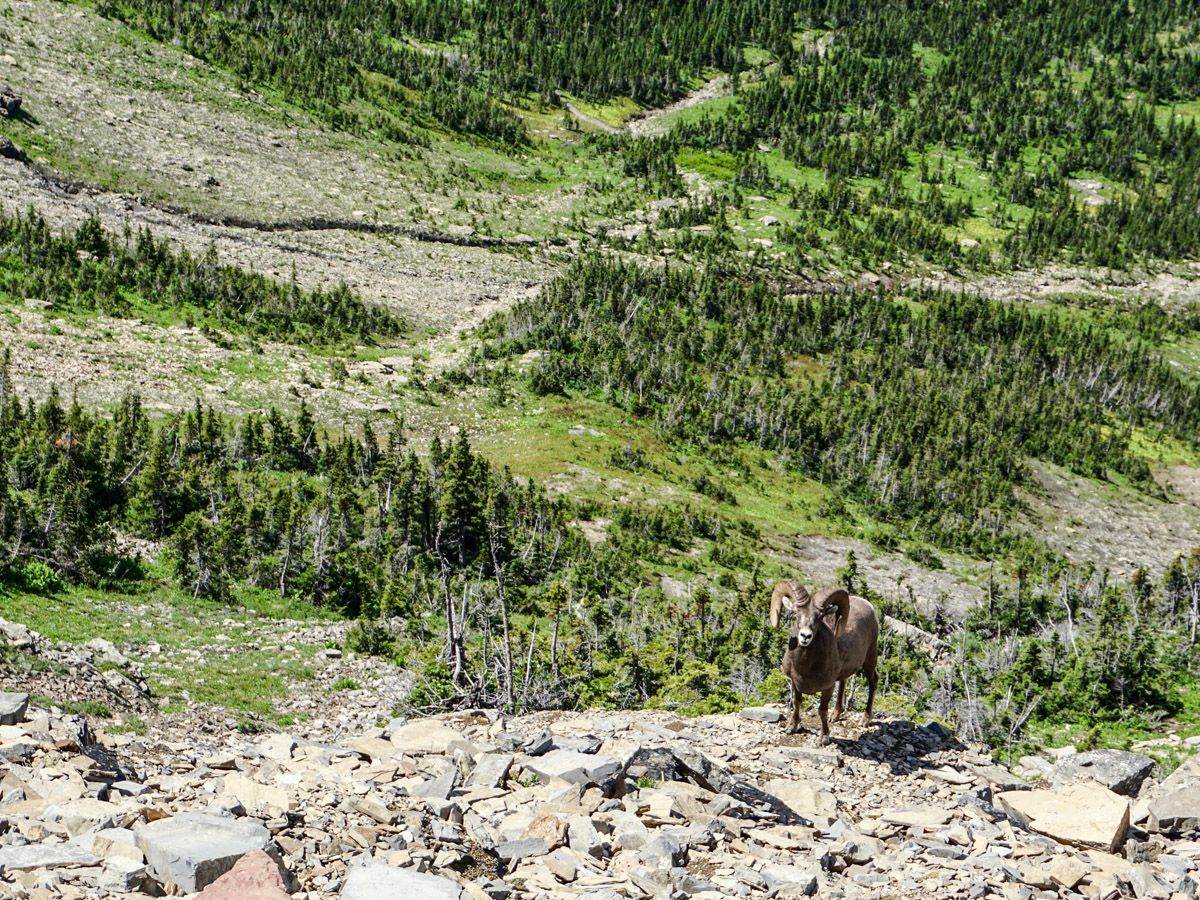 Mountain goat at The Highline Hike in Glacier National Park