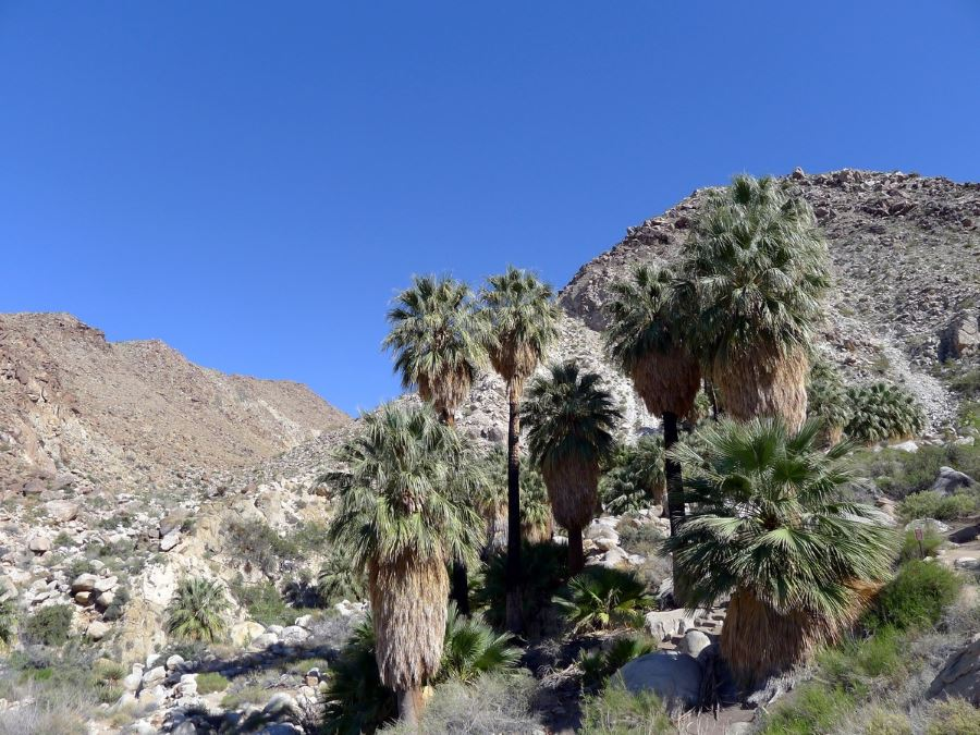 49 Palms Oasis is a must-see place in Joshua Tree National Park