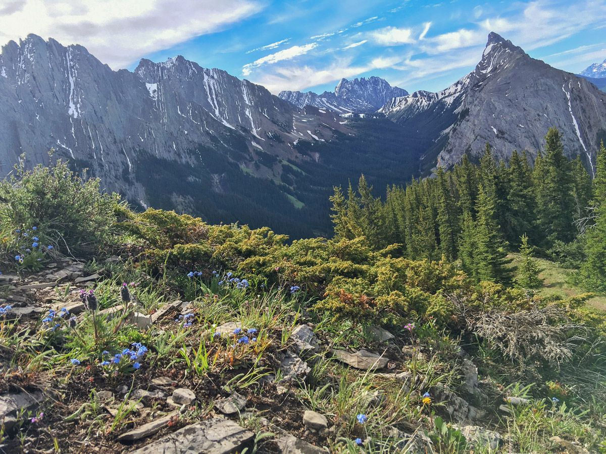 Flowers and trees on the King Creek Ridge Hike in Kananaskis, near Canmore