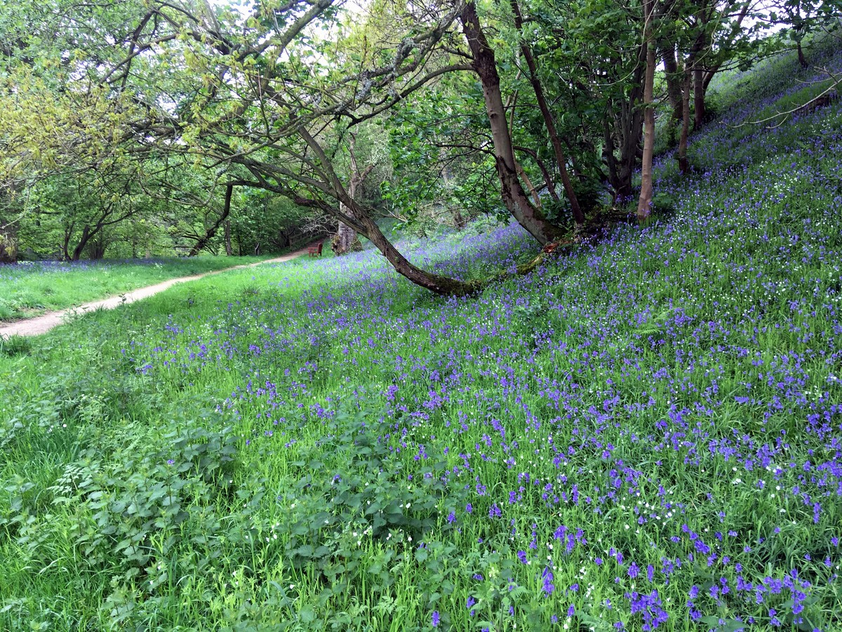 """Bluebell meadows surrounding River Dove on the Farndale """"Daffodil walk"""" Hike in North York Moors, England"""
