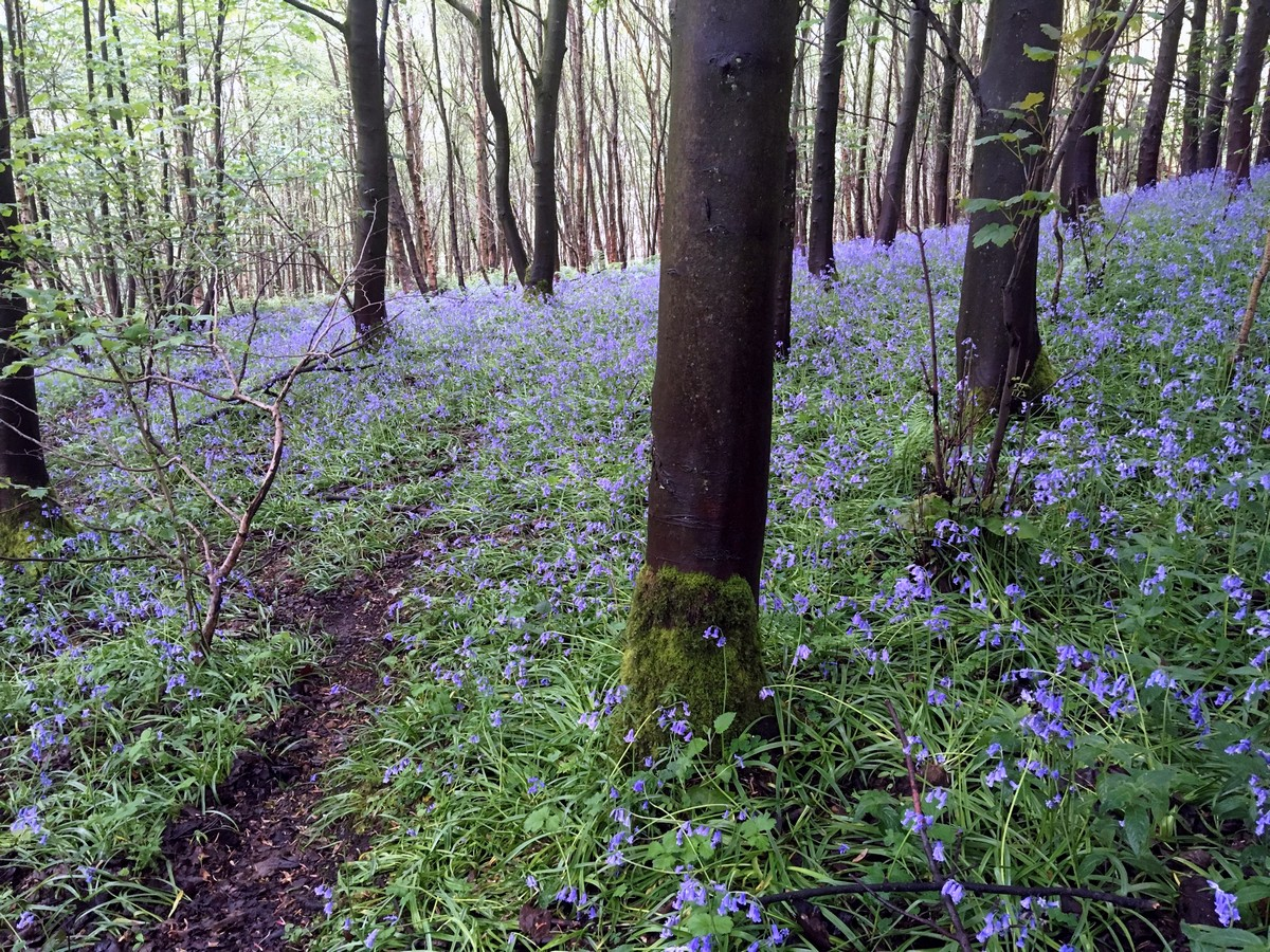 Bluebells in Hood Hill Plantation on the Sutton Bank, White Horse of Kilburn and Gormire Lake Hike in North York Moors, England
