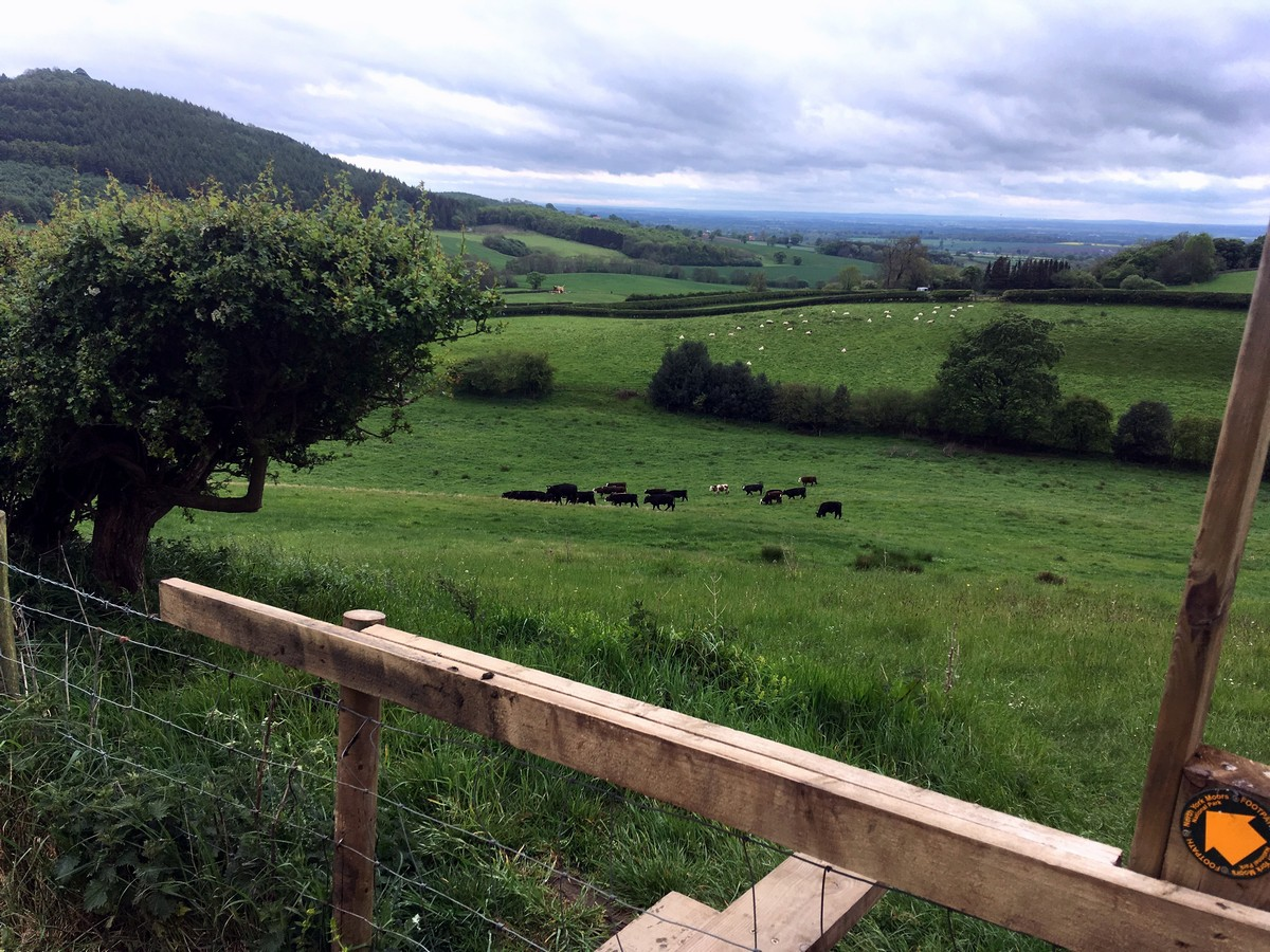 Cows grazing in Happy Valley on the Sutton Bank, White Horse of Kilburn and Gormire Lake Hike in North York Moors, England