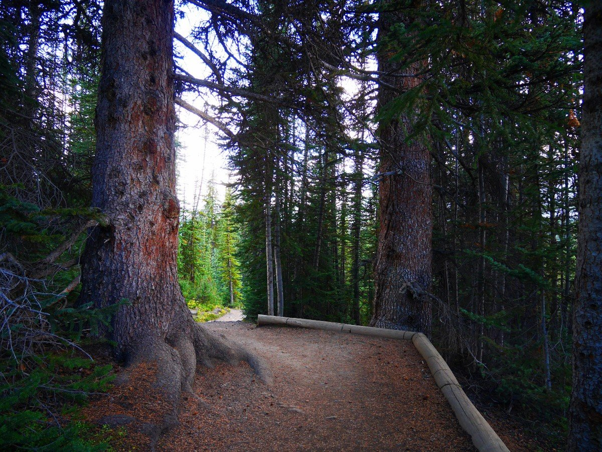 400 year old spruce trees on the Parker Ridge Trail Hike from the Icefields Parkway near Banff National Park