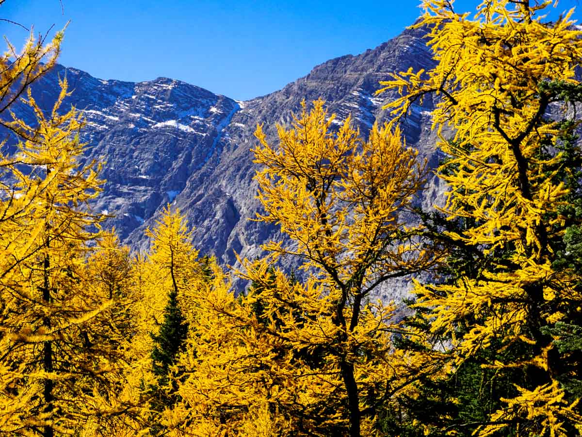 Beautiful larches on the Pocaterra Ridge Hike in Kananaskis, near Canmore