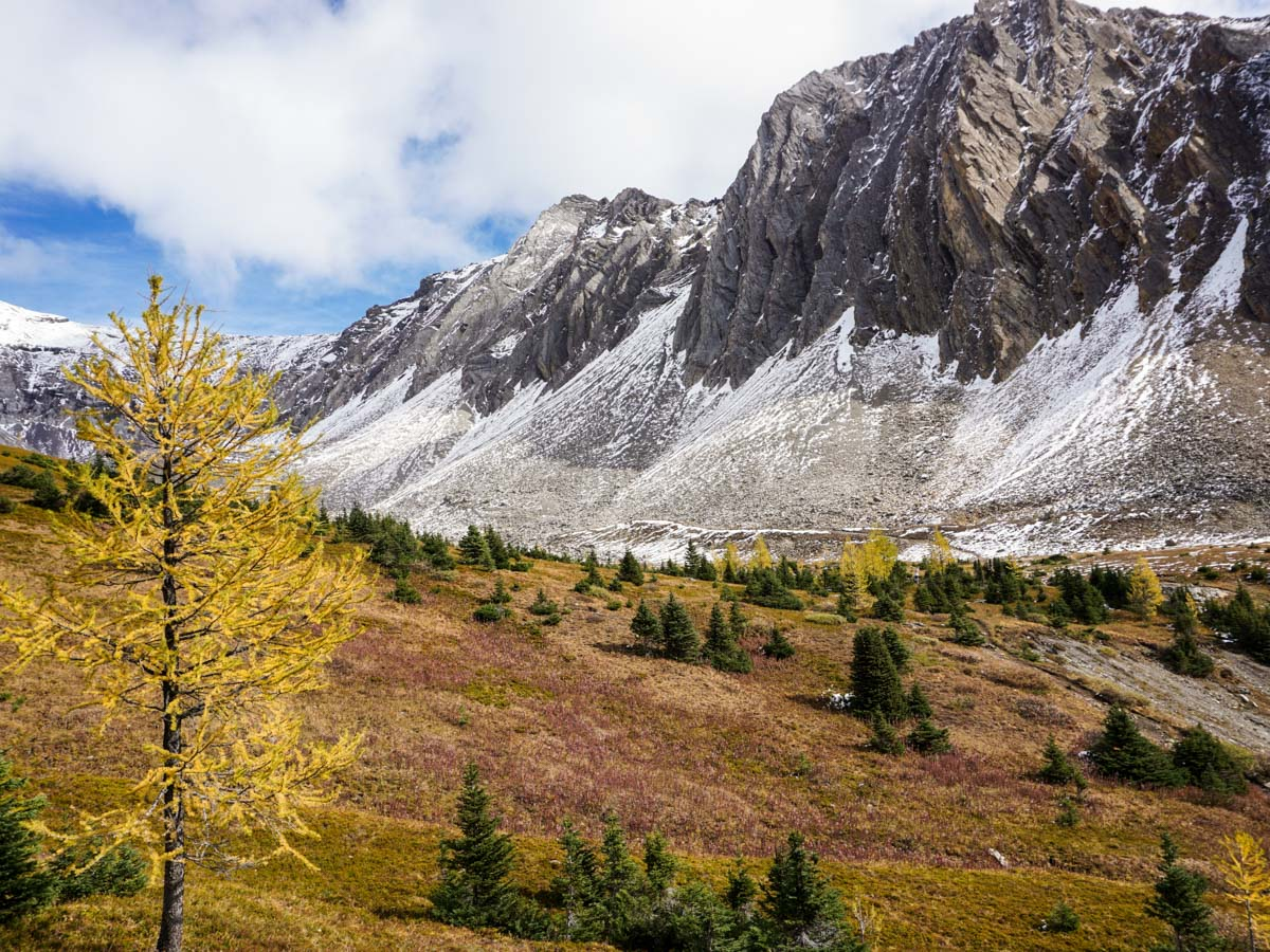Larche in Autumn on the Ptarmigan Cirque Hike in Kananaskis, near Canmore