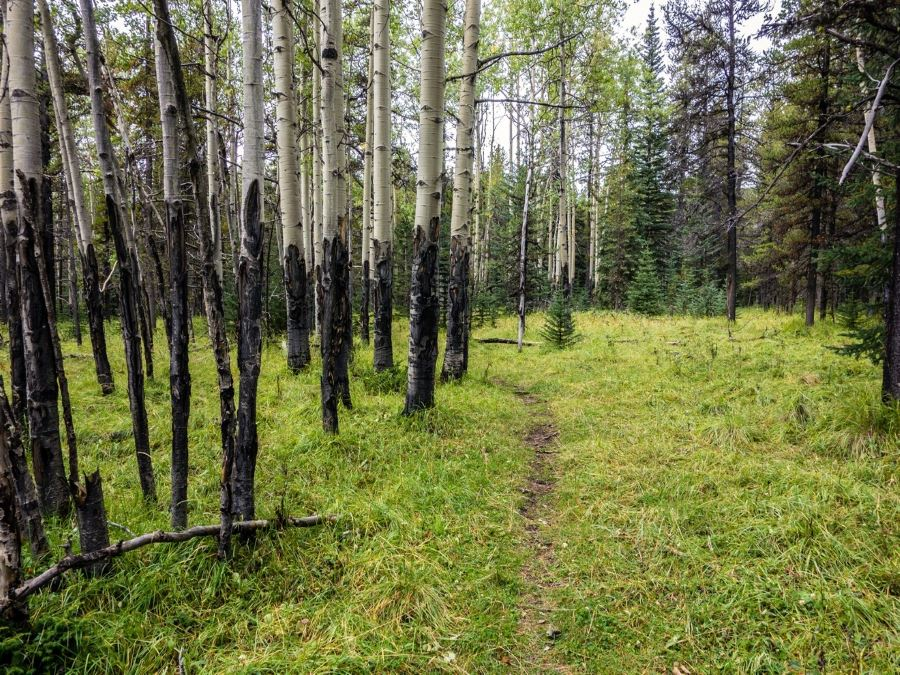 Birch forest on the Volcano Ridge Hike in Sheep River Provincial Park, Kananaskis