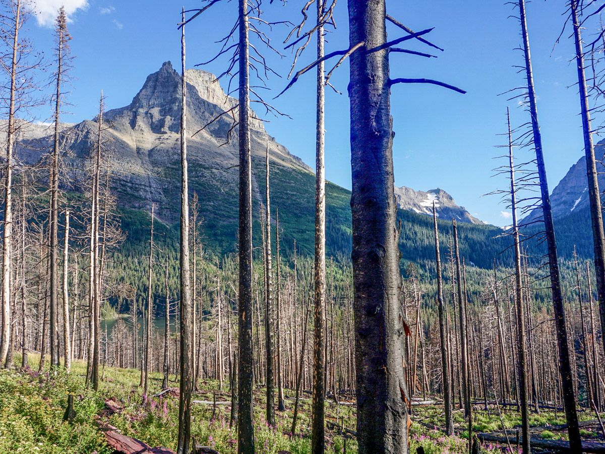 Trees at St Mary and Virginia Falls Hike in Glacier National Park