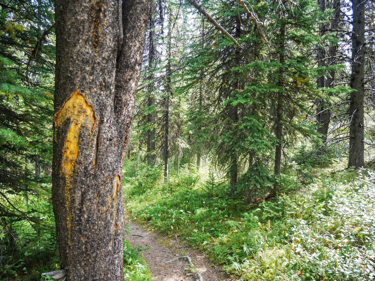 Trail marking on the tree on the Sunset Viewpoint and Pass Hike from the Icefields Parkway near Banff National Park