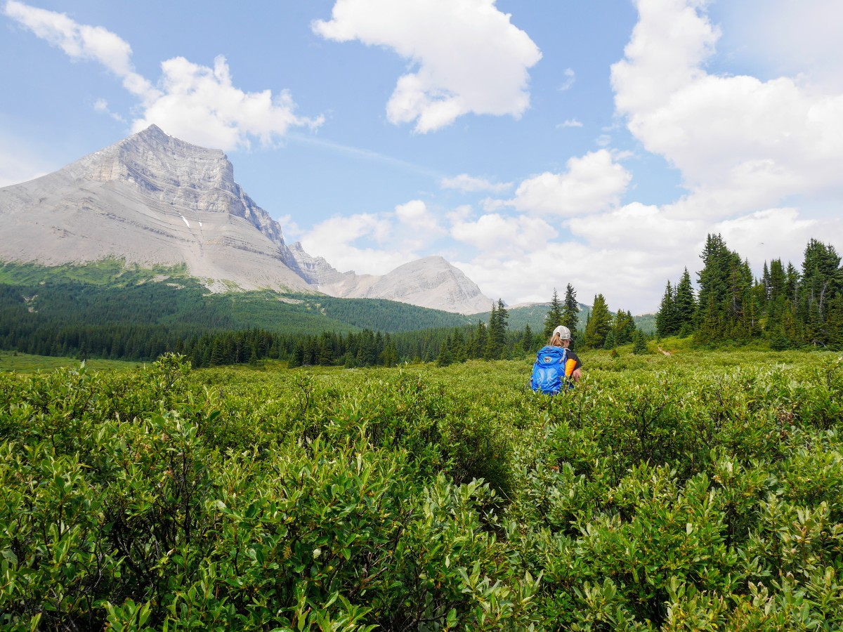 Hiking through chest high willows on the Sunset Viewpoint and Pass Hike from the Icefields Parkway near Banff National Park