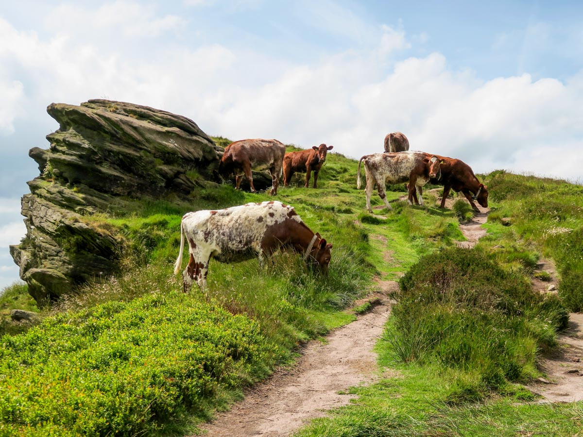 Cattle on The Roaches and Lud's Church Hike in Peak District, England