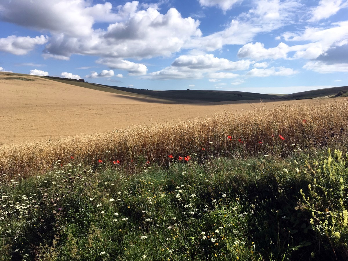 Wildflowers and farmer fields on the East Dean, Beachy Head and Birling Gap Hike in South Downs, England