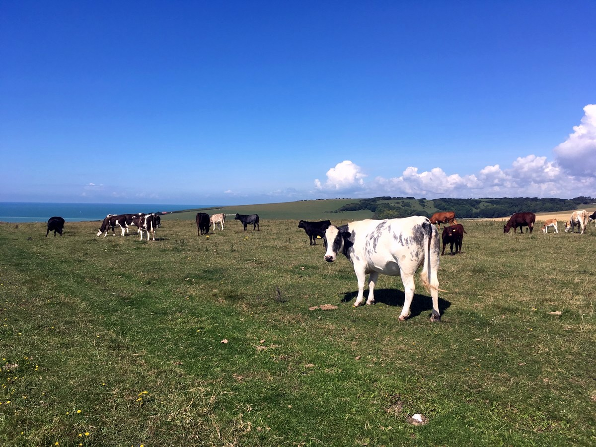 Cows on the trail of the East Dean, Beachy Head and Birling Gap Hike in South Downs, England