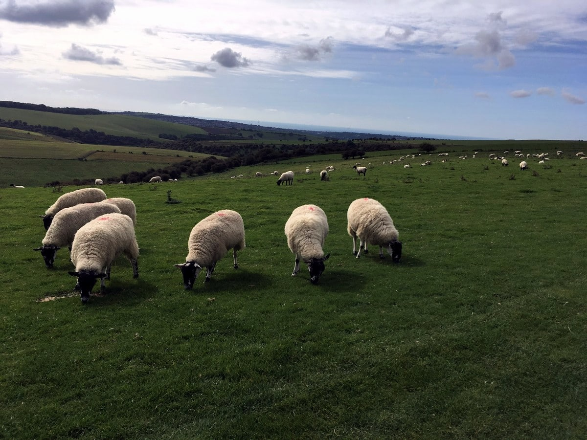 Sheep grazing on the Downs on the Hassocks to Lewes Hike in South Downs, England