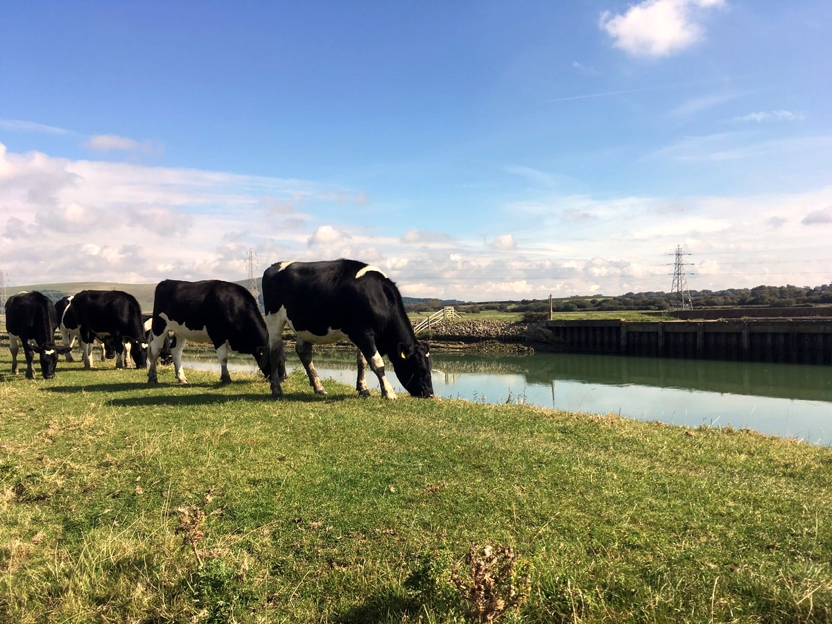 Cattle grazing along the riverside on the Southease and the River Ouse Hike in South Downs, England