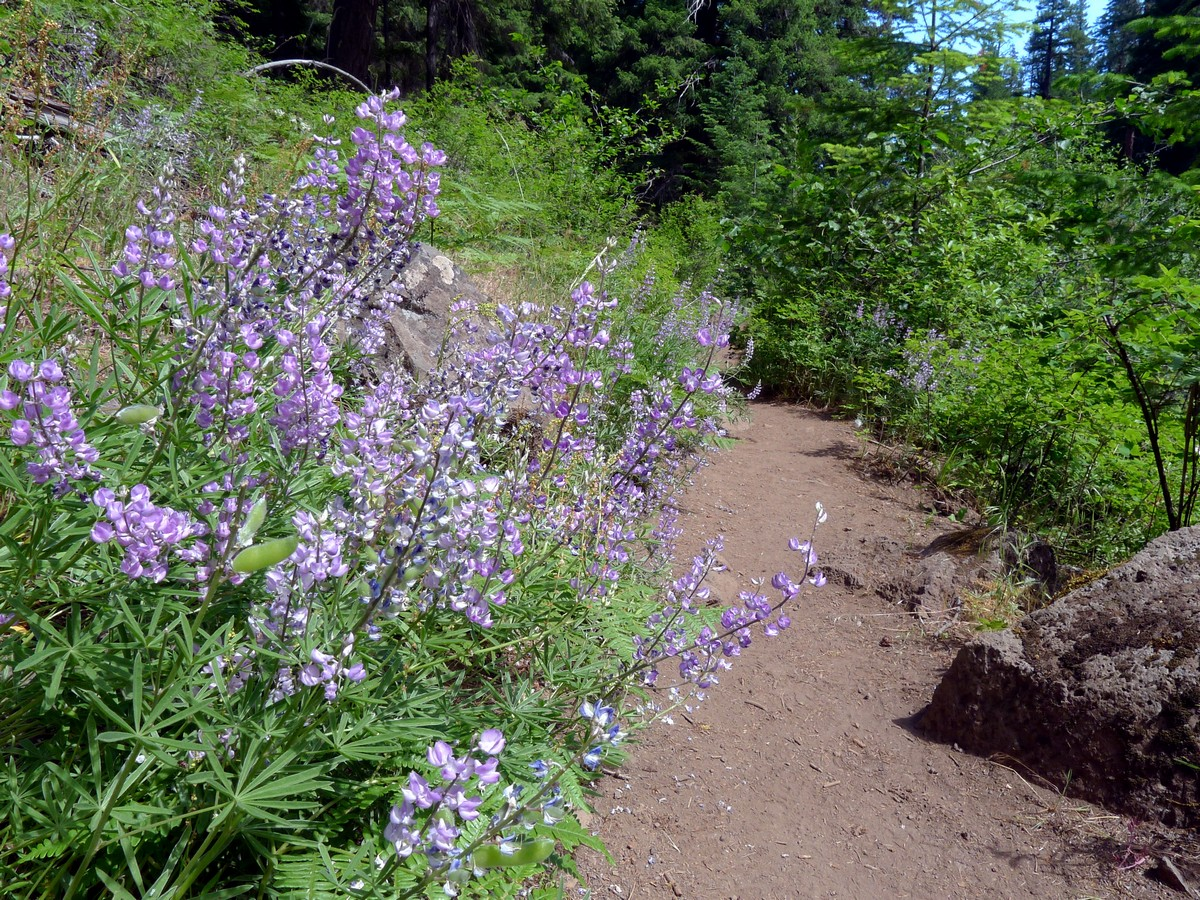 Wildflowers beside the trail on the West Metolius River Hike near Bend, Oregon