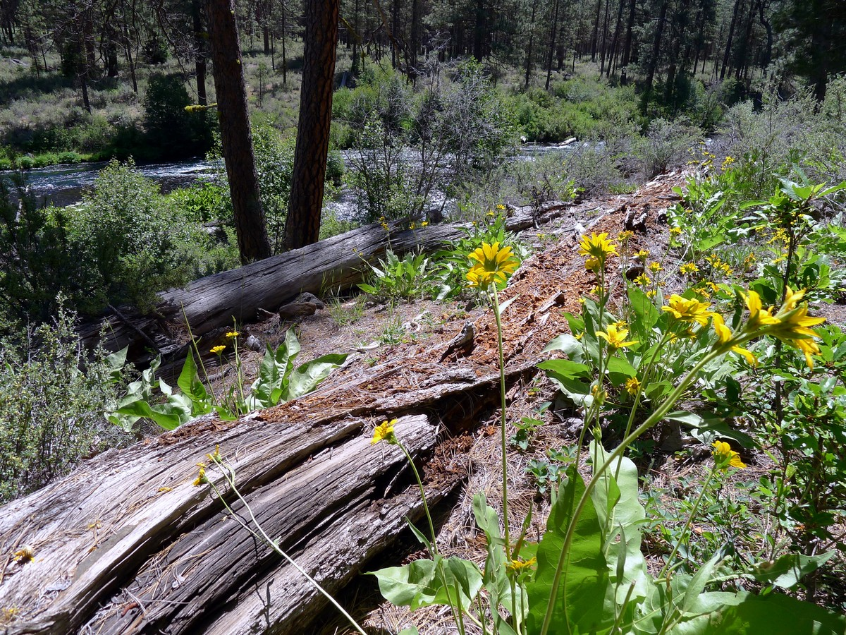 Wildflowers on the West Metolius River Hike near Bend, Oregon