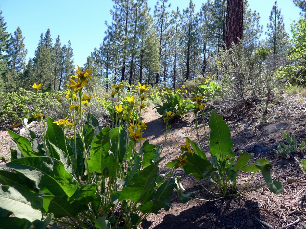 Wildflowers on the Whychus Creek Trail Hike near Bend, Oregon