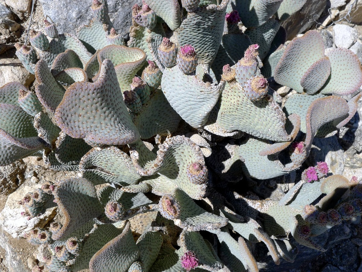 Impressive cacti on the Boy Scouts Trail Hike in Joshua Tree National Park, California