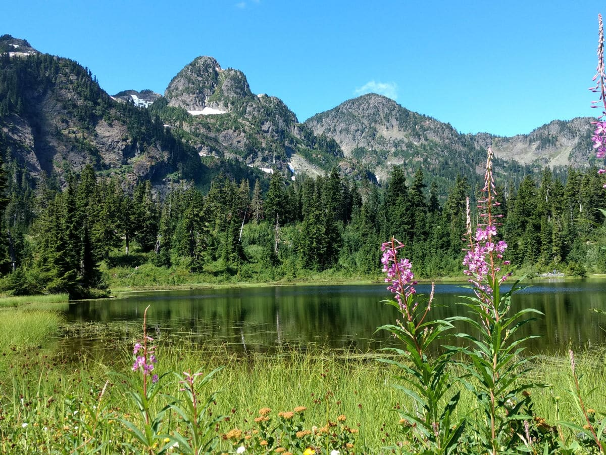 Fireweed in the summer on the Picture Lake Hike near Mt Baker, Washington