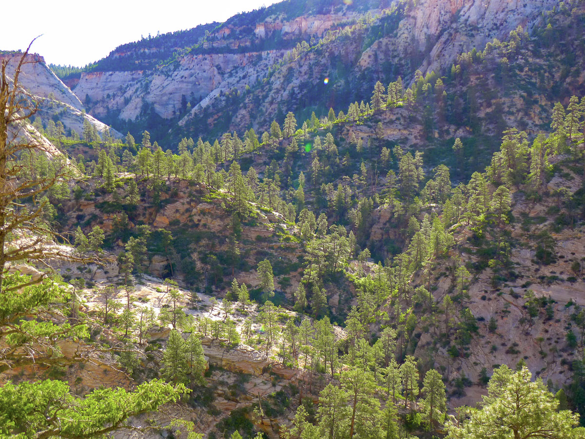 Observation Point hike in Zion National Park is surrounded by ponderosa pines