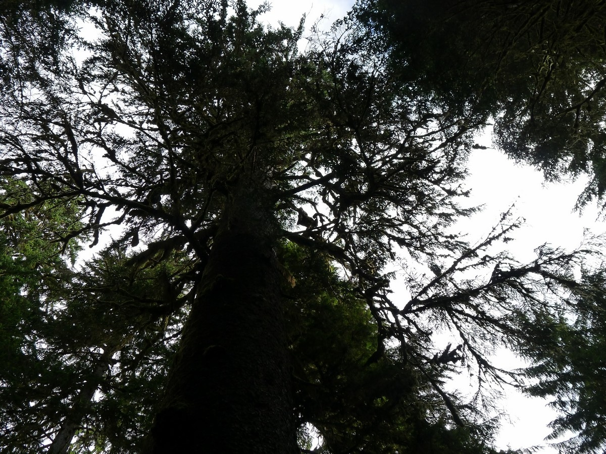 Huge trees on the Hoh River Trail Hike in Olympic National Park